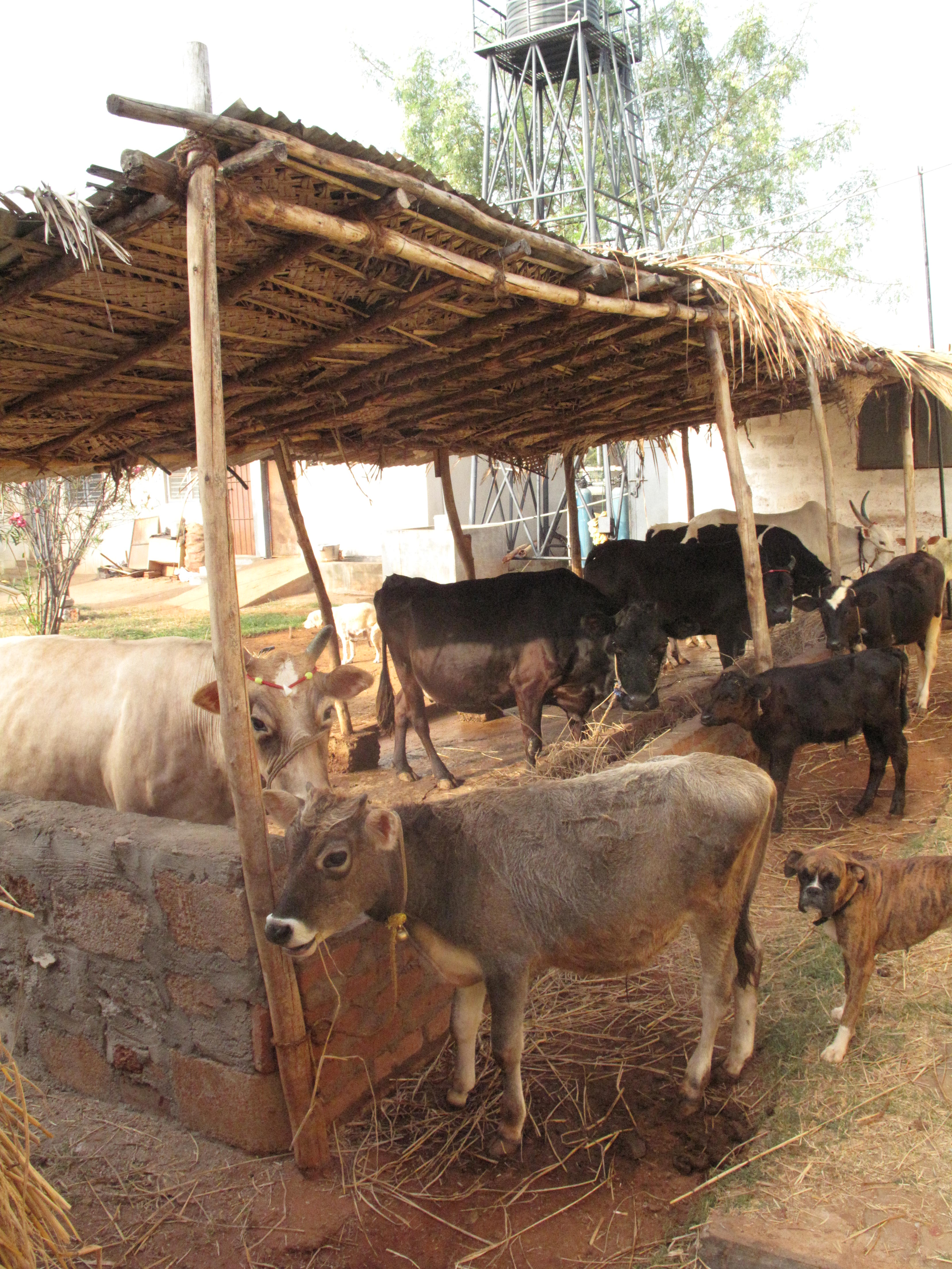Modern Cow Shed Design In India Zion Star