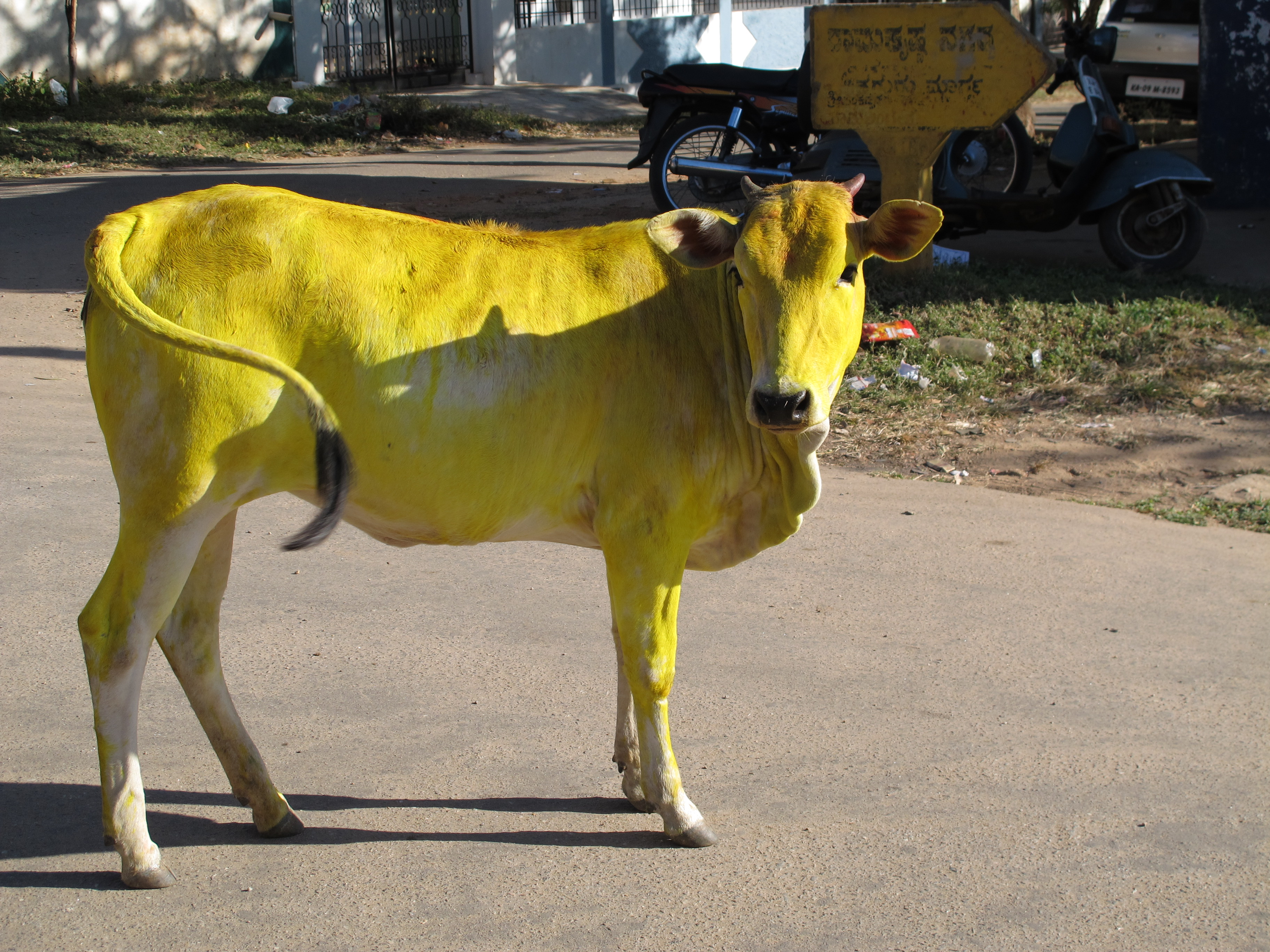 in mysore india � happy sankranthi world cow girl