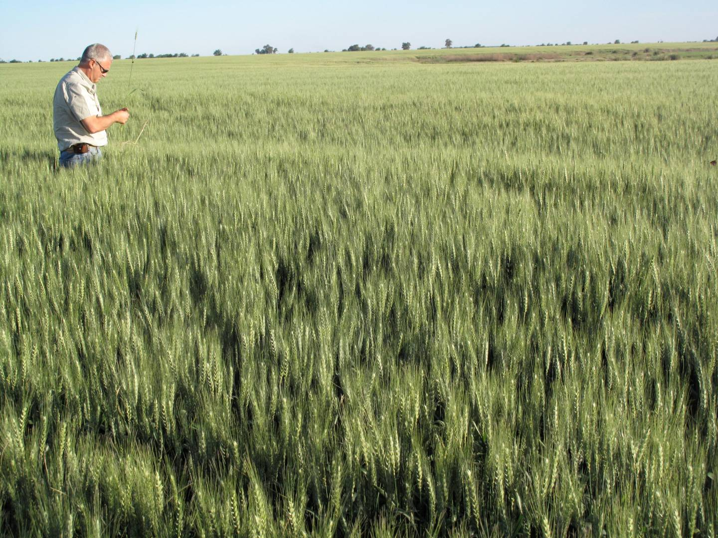 Alejandro, inspecting his wheat crop.