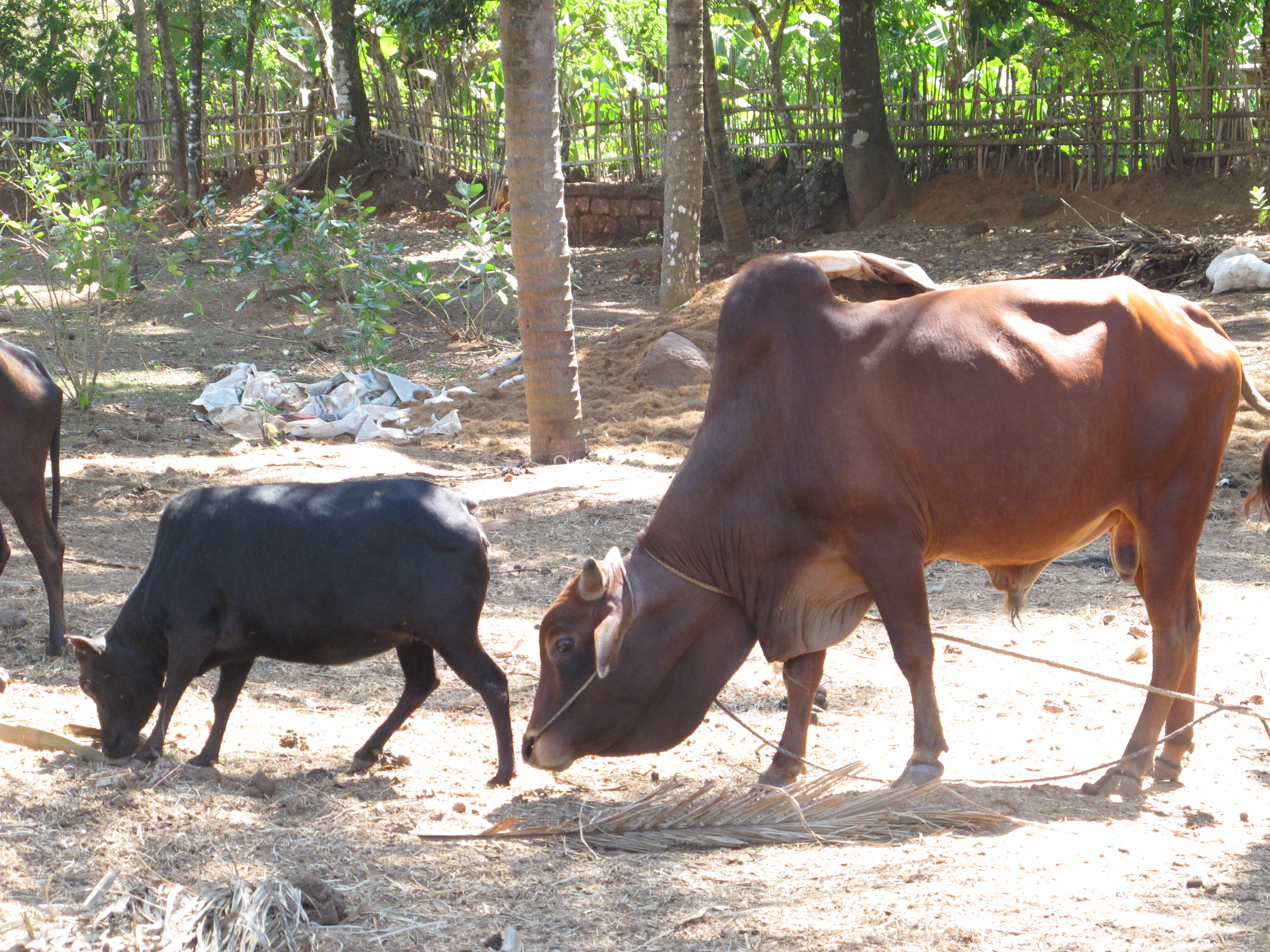 indian cow breeds pdf in hindi