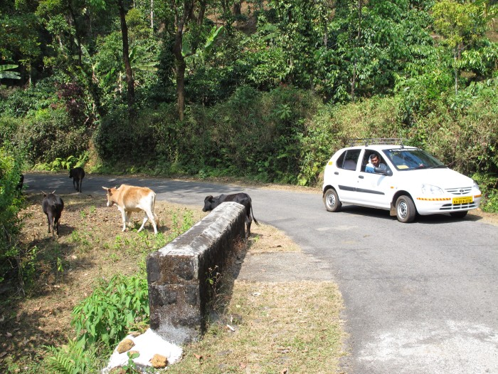Kasaragod cattle roaming the Coorg Mountain jungles. We could have fit one in our car.