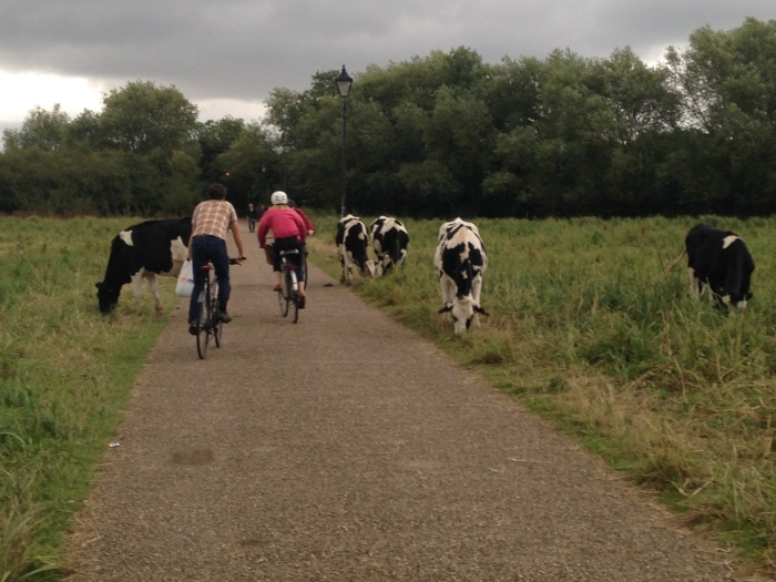 Cows are not uncommon to interact with in Oxford's many open spaces. This photo was taken on Marston Meadow.
