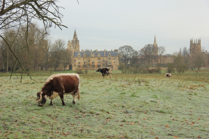 The small herd of English longhorn cows that live on Christ Church Meadow may have one of the World's most cultured cow pastures.